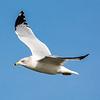 RIng-billed gull 4
