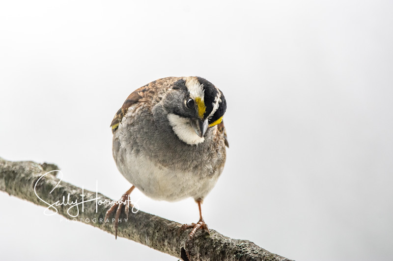 White Throated Sparrow 3