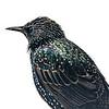 European Starling 4