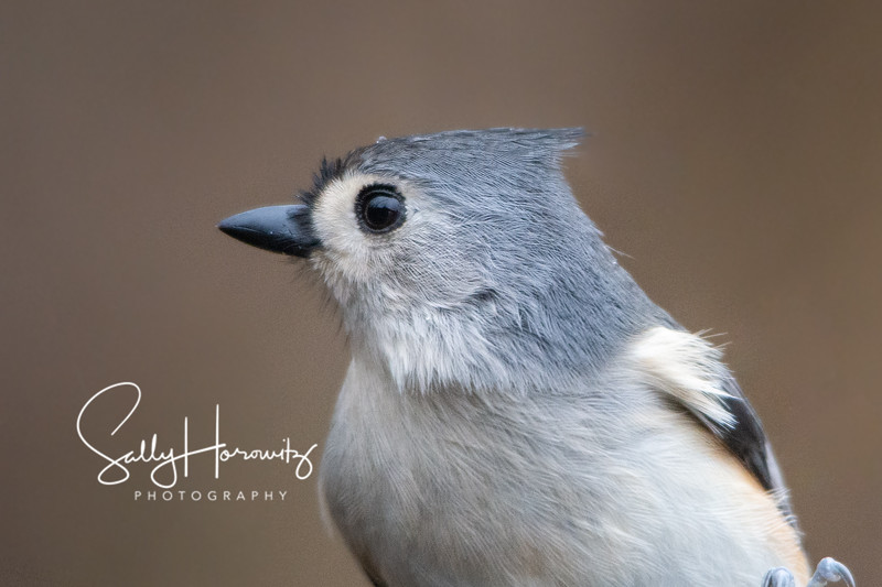 Tufted Titmouse 8