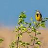 Eastern Meadowlark 9