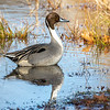 Northern Pintail 5