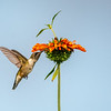 Ruby-throated Hummingbird 33