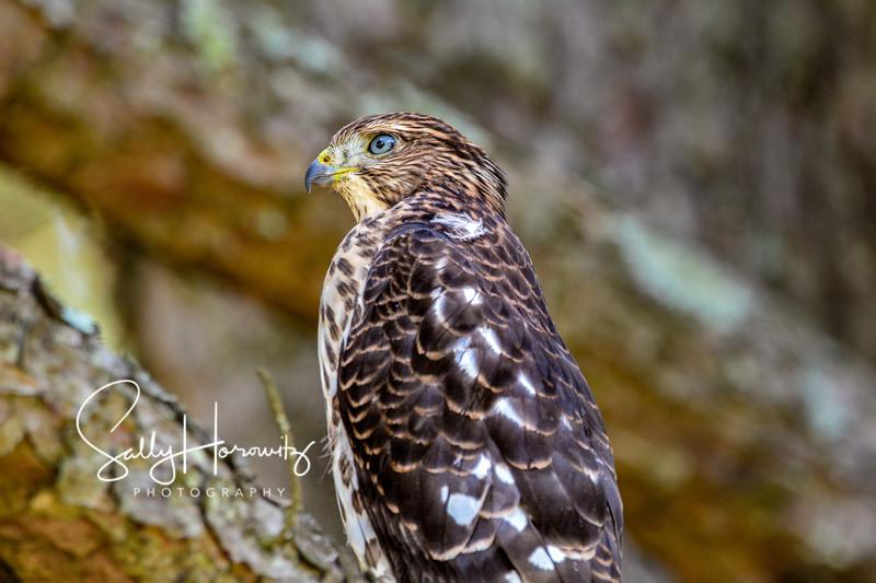 Cooper's Hawk fledgling 2