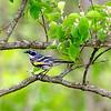 Yellow-rumped warbler 1