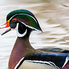 Male wood duck 2