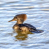 Female Hooded Merganser 2