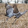 Sandhill Cranes 12