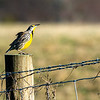 Eastern Meadowlark 3