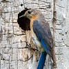 Bluebird female 5