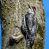 Yellow bellied sapsucker female