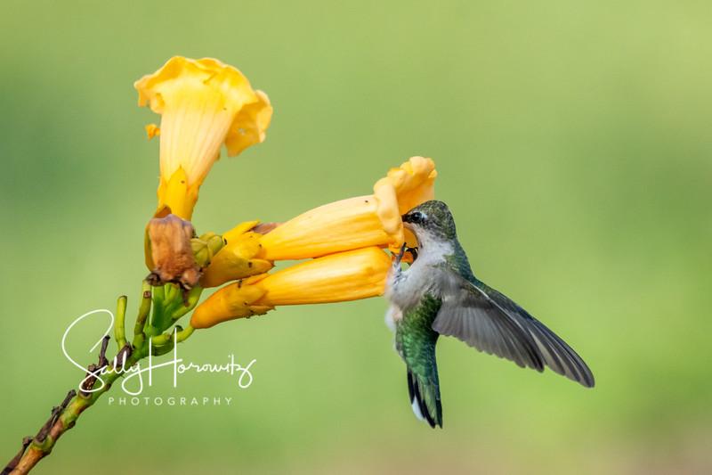 Ruby-throated Hummingbird 28