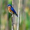 Bluebird male 5