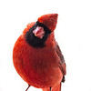 Northern Cardinal male 13