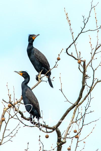 Cormorants 3