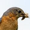 Bluebird female 2