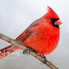 Northern Cardinal male 5