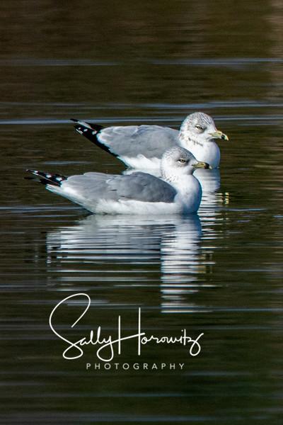 Ring-billed gulls 5