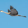 Sandhill Crane 29