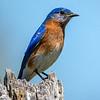 Bluebird male 2