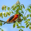 Scarlet Tanager 8