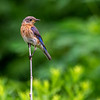Female bluebird 8