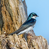 Tree swallow 5