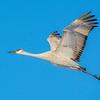 Sandhill Crane 30