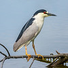 Black Crowned Night Heron (4)