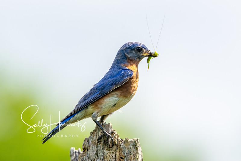 Bluebird male 10