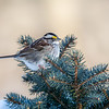 White Throated Sparrow 1