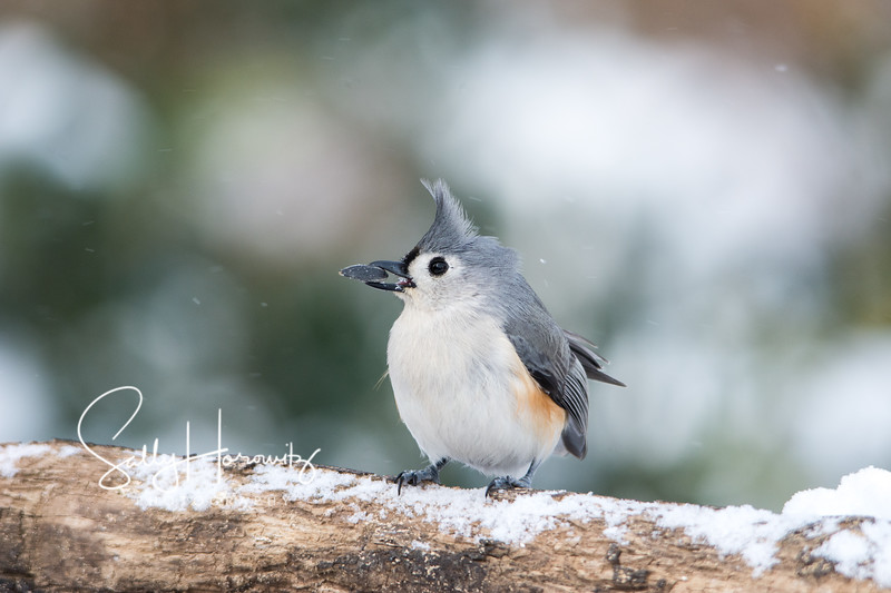 Tufted Titmouse 7