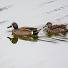 Blue winged teal couple