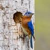 Bluebird male 3