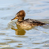 Female Hooded Merganser 4