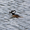 Male Hooded Merganser with crawfish