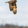 Short eared Owl 3