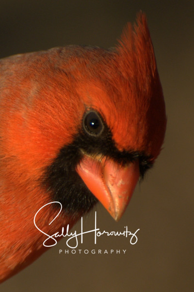 Northern Cardinal male 1