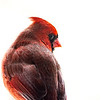 Northern Cardinal male 11