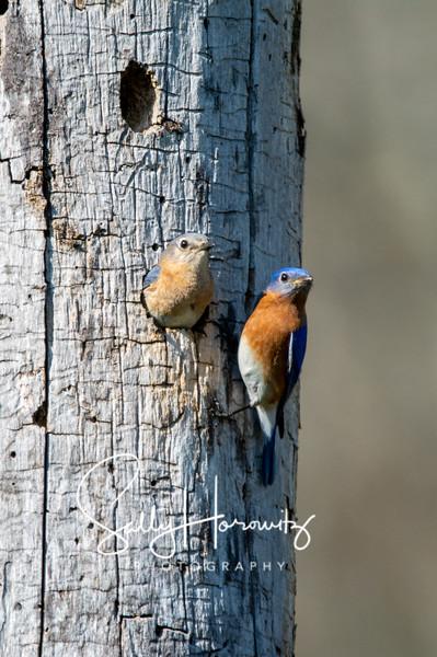 Bluebird couple 2