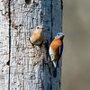 Bluebird couple 2