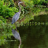 Great blue heron 18