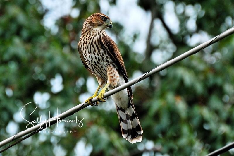 Cooper's Hawk 2