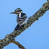 Hairy woodpecker female  2