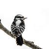 Downy woodpecker female 1