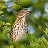 Brown thrasher 3