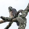 Mississippi kite fledgling