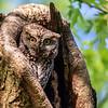 Eastern screech owl 9