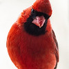Northern Cardinal male 12
