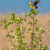 Eastern Meadowlark 4